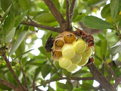 キボシアシナガバチの巣には常時三匹が待機