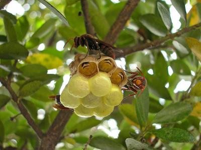 キボシアシナガバチがこちらを警戒