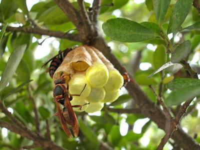 キボシアシナガバチの給餌