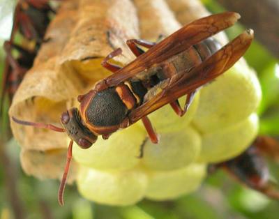 キボシアシナガバチの背面