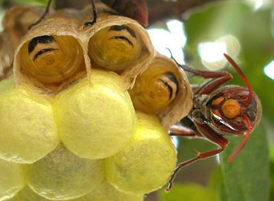 キボシアシナガバチの幼虫と成虫の正面