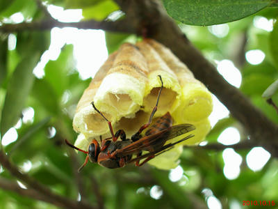 羽化したキボシアシナガバチ三匹目