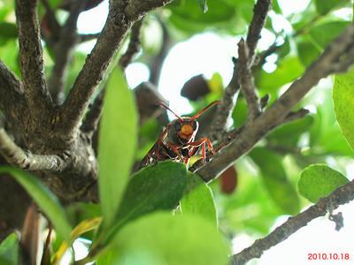 羽化したキボシアシナガバチ三匹目の巣立ち