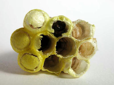 キボシアシナガバチの巣 下面