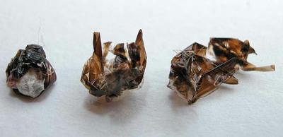 キボシアシナガバチ羽化後の巣の残留物