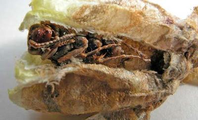 キボシアシナガバチのサナギ