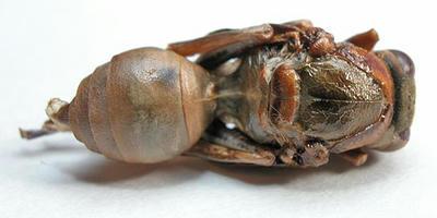 キボシアシナガバチのサナギ 背面