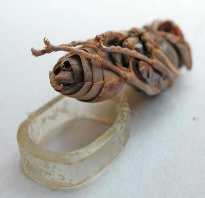 キボシアシナガバチのサナギ 腹部