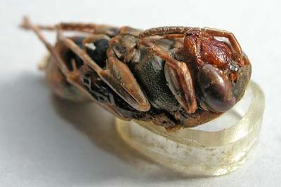 キボシアシナガバチのサナギ 頭部