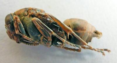 キボシアシナガバチのサナギ 左側面