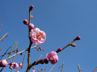 相模原北公園の梅2011/01/22