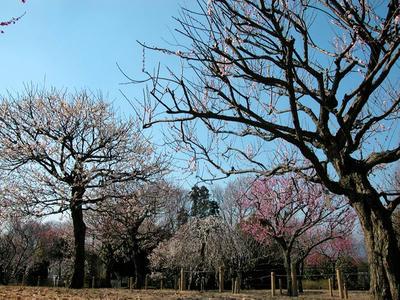 相模原北公園の梅2011/2/22
