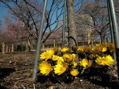 相模原北公園の梅と福寿草