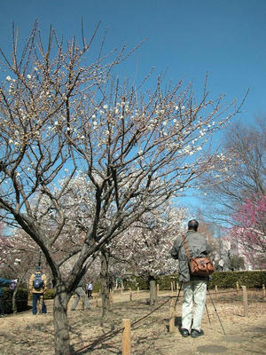 相模原北公園の梅:2011/2/26