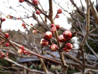 相模原北公園の梅