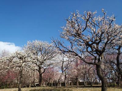 相模原北公園の梅20120325