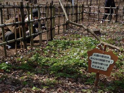 相模原北公園のキクザキイチゲ20120402