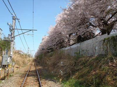 相模線沿いの桜