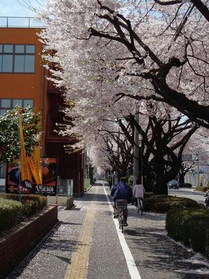相模原の桜:2012/4/12