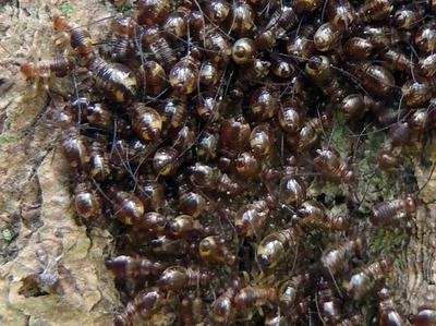 オオチャタテの幼虫