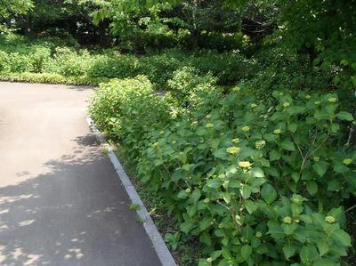 相模原北公園のアジサイ:20120529
