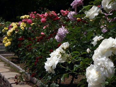 相模原北公園のバラ:20120529