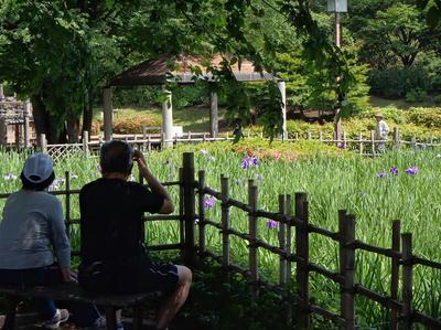 相模原北公園のショウブ:20120604