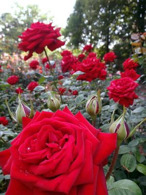相模原北公園のバラ:20120604