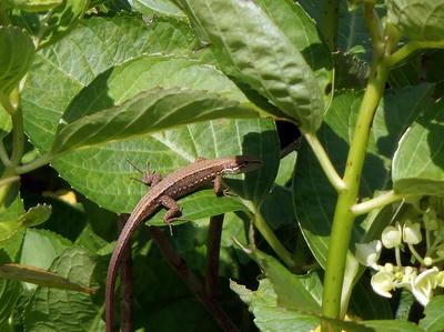 相模原北公園のカナヘビ:20120604