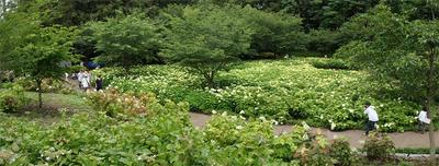 相模原北公園のアジサイ:20120617