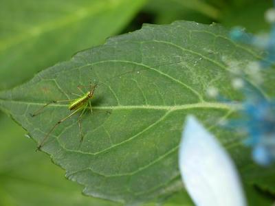 相模原北公園のアジサイとクダマキモドキの幼虫:20120624