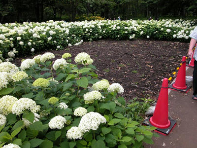 相模原北公園のアジサイ:20120624