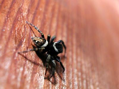 尻から糸を出し体の安定を図るアダンソンハエトリグモ成体♂