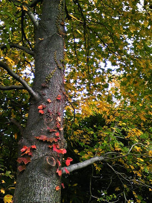相模原北公園のモミジバフウの紅葉