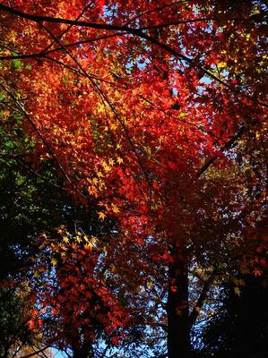 相模原北公園の紅葉