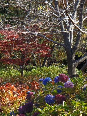 相模原北公園の四季咲きヒメアジサイ