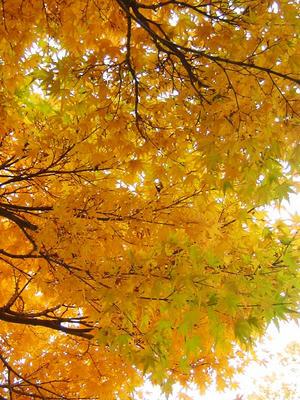 相模原北公園の黄葉