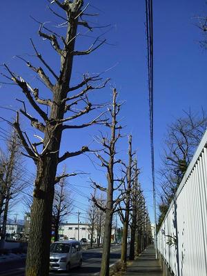 枝が切り払われた街路樹のイチョウ