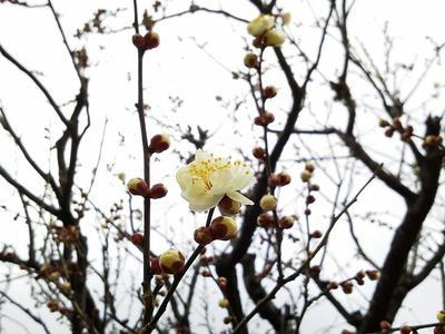 相模原北公園の梅が開花2013年2月2日
