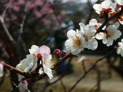 相模原北公園の梅3月7日