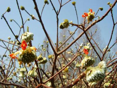 相模原北公園のミツマタ赤3月7日
