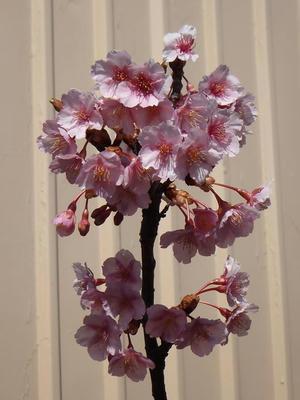自宅の河津桜
