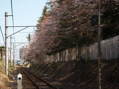 相模原の桜3月22日