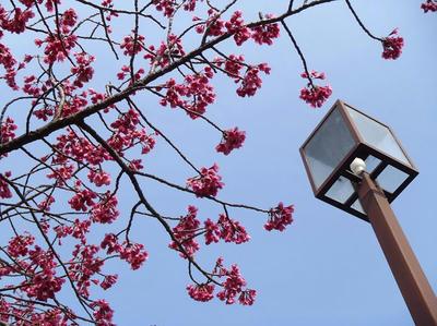 相模原北公園の寒緋桜(カンヒザクラ)3月23日