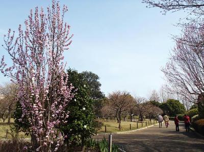 相模原北公園のハナモモ3月23日