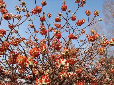 相模原北公園のミツマタ赤3月23日