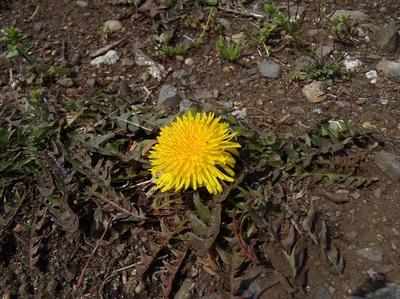 相模原北公園のタンポポ(たぶん在来種)3月23日