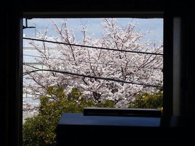 相模原の桜01:3月26日