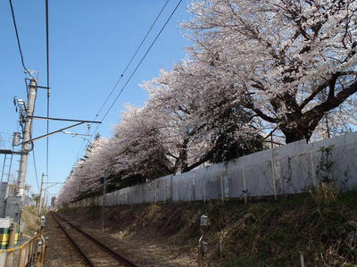 相模原の桜02:3月26日