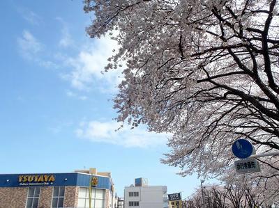 相模原の桜03:3月26日